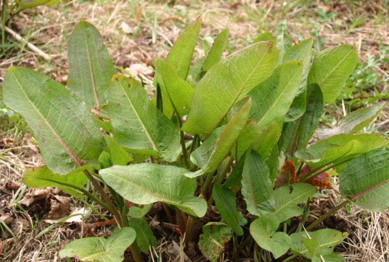 Rumex-obtusifolius-foliage